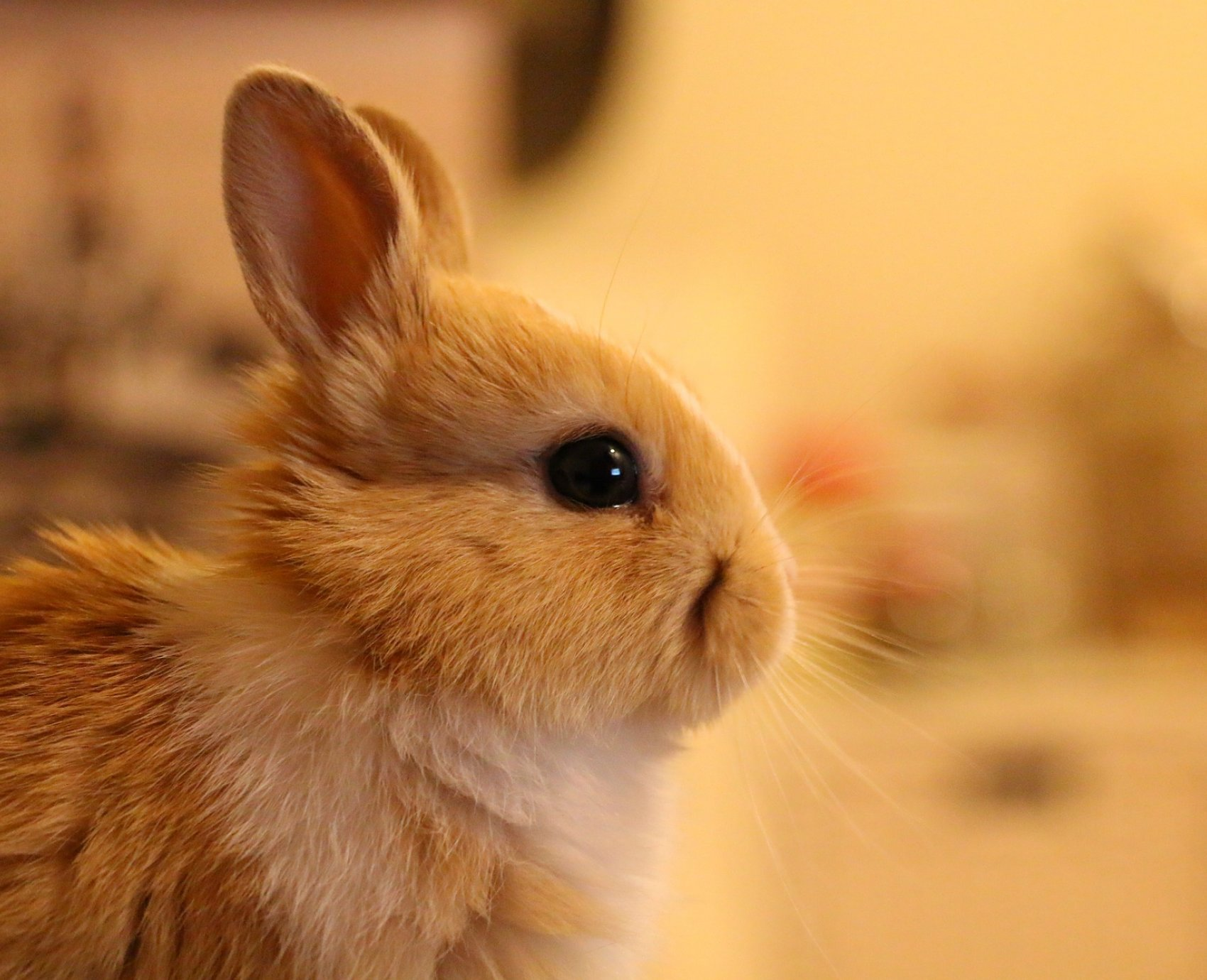 Dutch X Mini Rex Buck Rabbits
