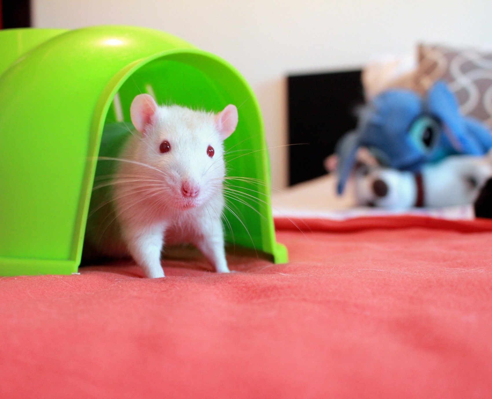 How Rats Communicate, And How To Interpret It