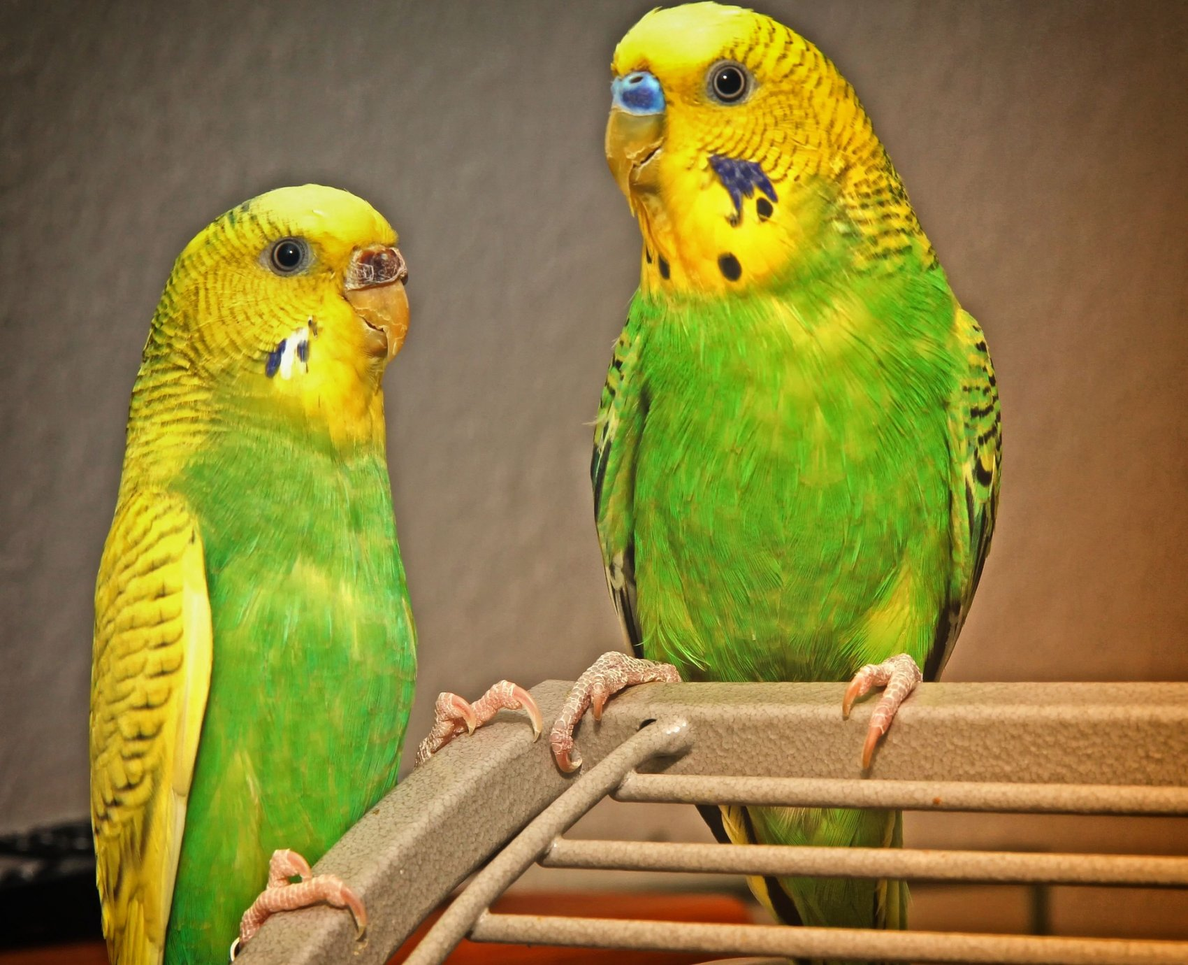 Aviary Budgies