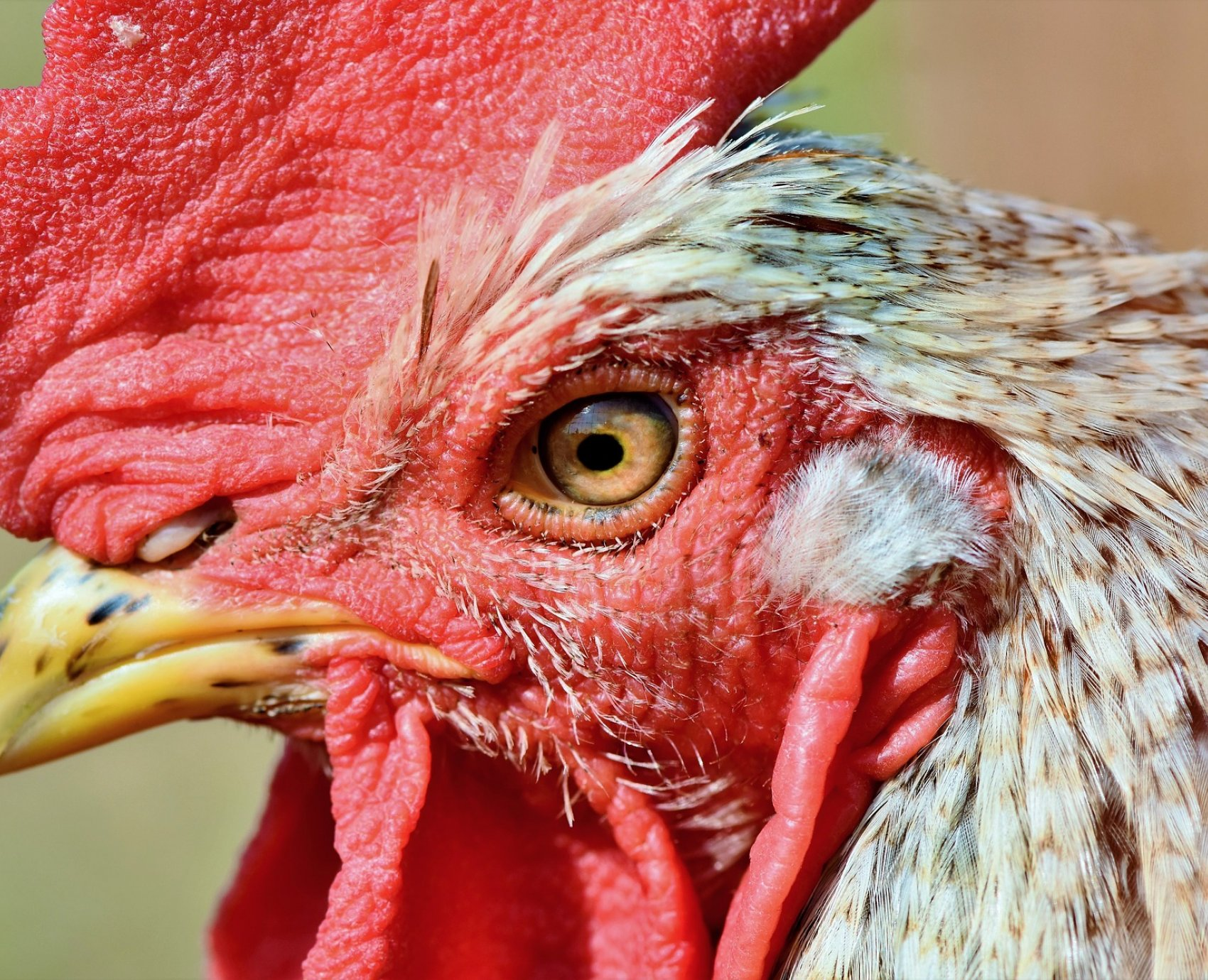 Can You Feed Human Food And Kitchen Scraps To Chickens?